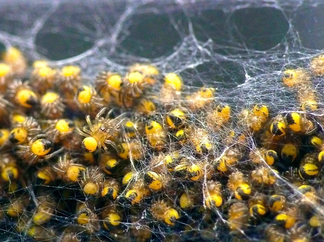 Dozens of Black and Yellow spiderlings in their mother's web.