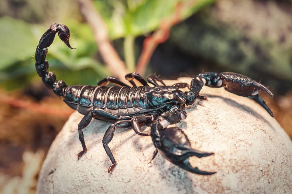 Side view of an Emperor Scorpion, which is standing on a rock.