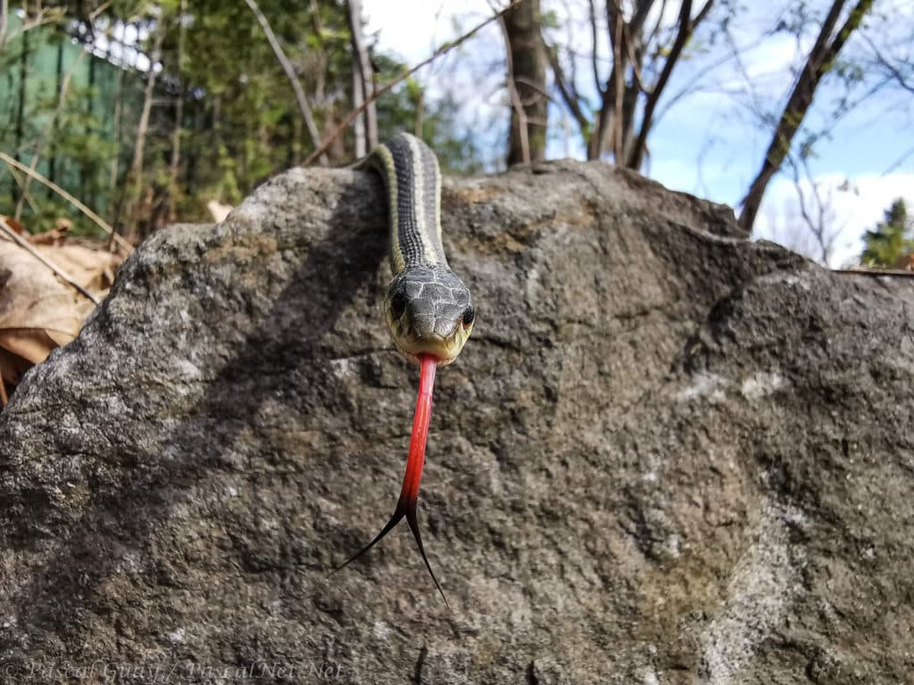Garter snake slithering over the top of a hill, facing the camera with tongue e
