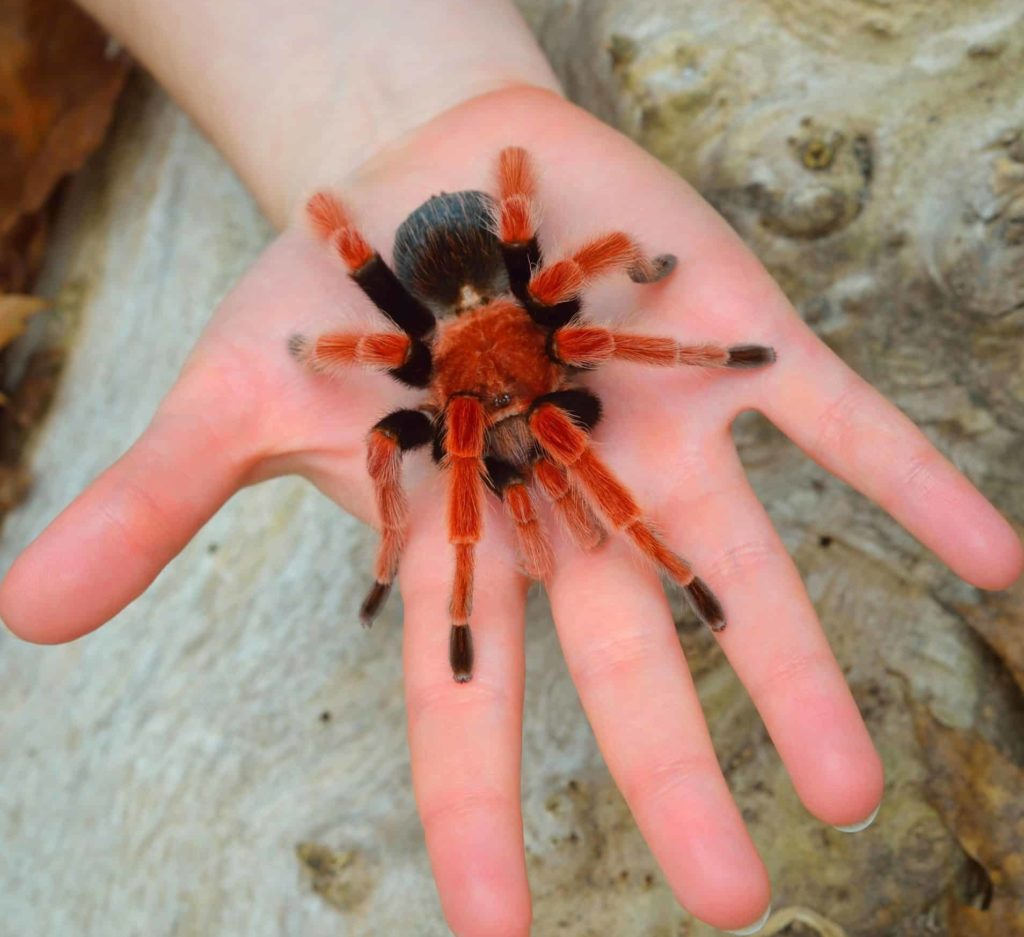 Mexican Fireleg Tarantula standing on a person's palm.