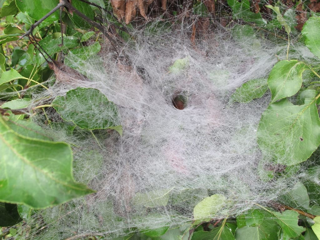 The dense web of a funnel web spider. which has a well-defined hole in it near the center.