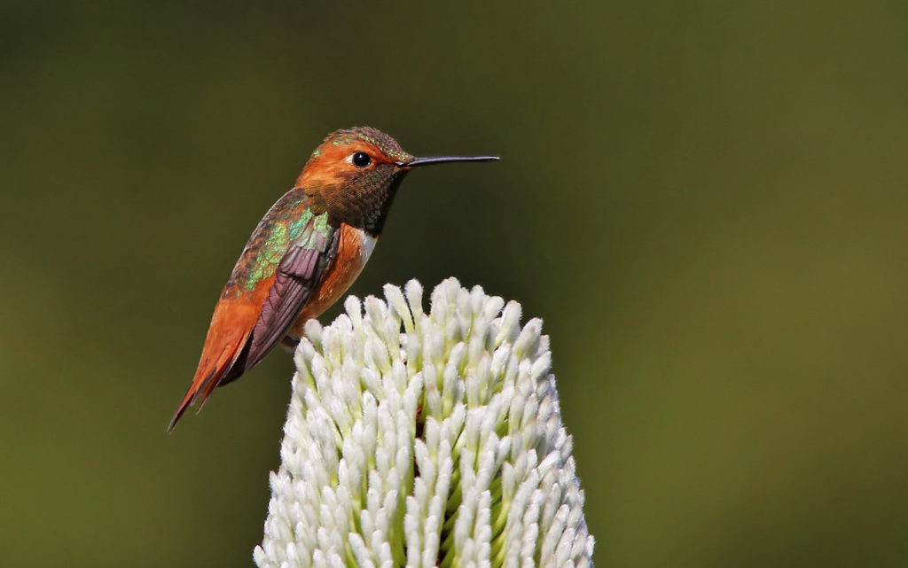 Allen's Hummingbird, Selasphorus sasin, standing on a white flower.