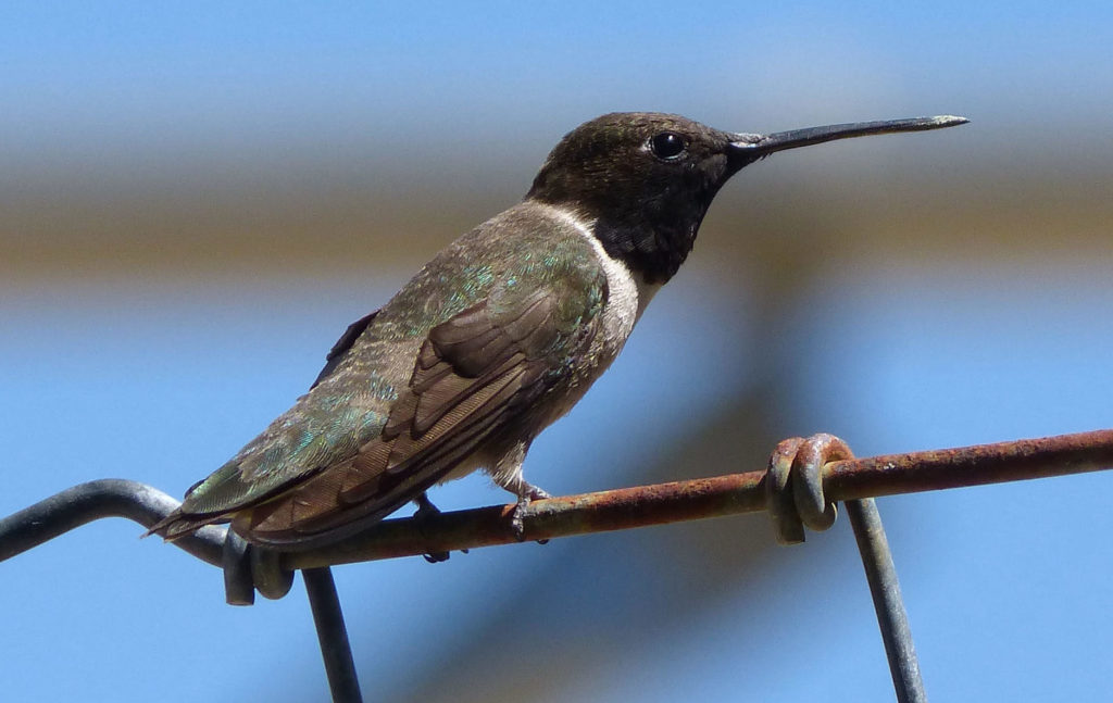 Black-chinned Hummingbird, Archilochus alexandri, standing on a wire.