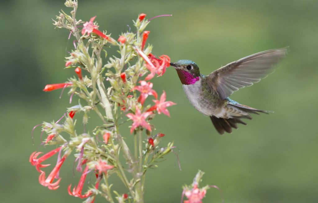 Broad-tailed Hummingbird, Selasphorus platycercus, drinking nectar from pink flower while hovering.