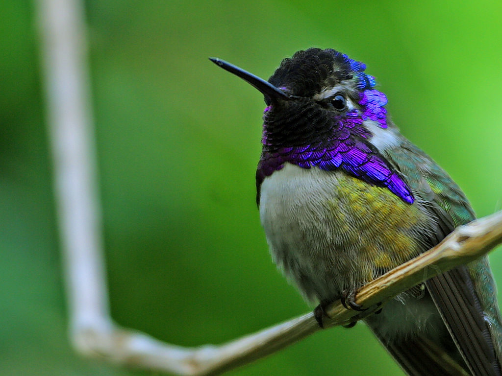 Costa's Hummingbird, Calypte costae, standing on a thin tree branch.