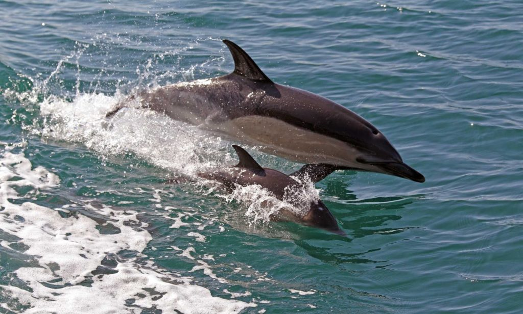 Dolphin and small calf side by side skimming the surface of the water.