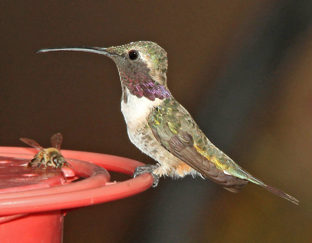 Lucifer's Hummingbird, Calothorax lucifer, perched on a red hummingbird feeder.