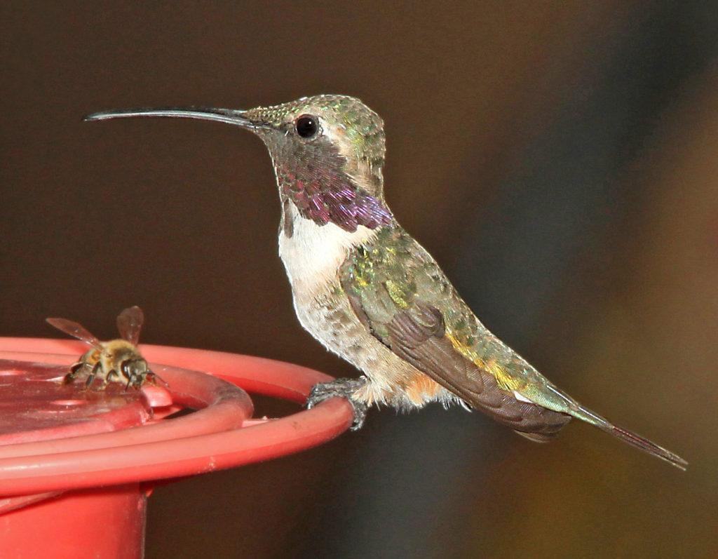 Lucifer's Hummingbird, Calothorax lucifer, perched on a red hummingbird feeder.