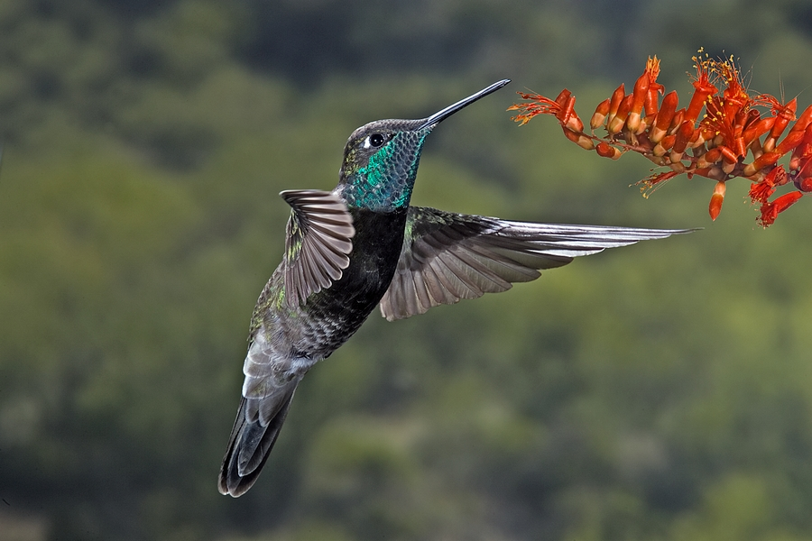 Magnificent Hummingbird, Eugenes fulgens, male hovering next to an orange flower