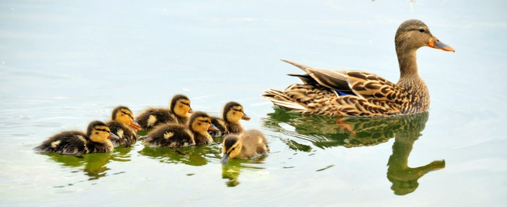 Female Mallard Duck, Anas platyrhynchos, and ducklings floating in water.