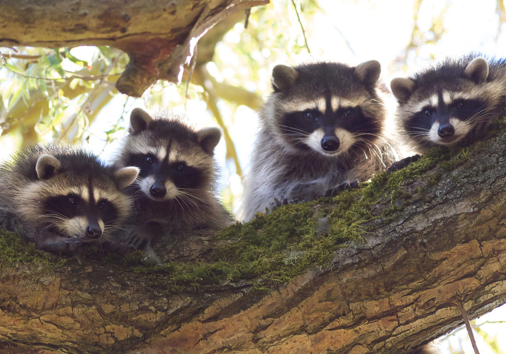 Raccoon mother, Procyon lotor, and her kits. peering down from a large tree limb they're standing on.