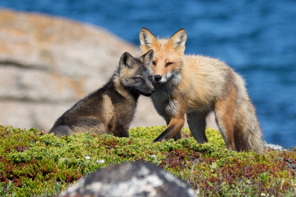 Red Fox mother,  Vulpes vulpes, and kit standing on a bluff overlooking a sea.