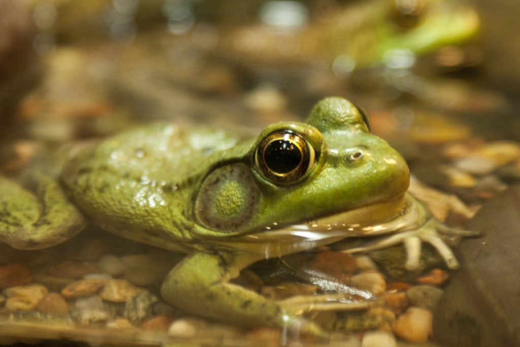 Close up of a frog eye's as it sits in water.