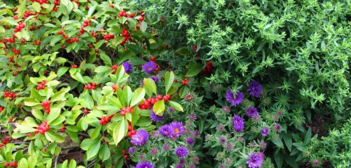 Various native plants displaying red berries, lavender flowers and greenery.