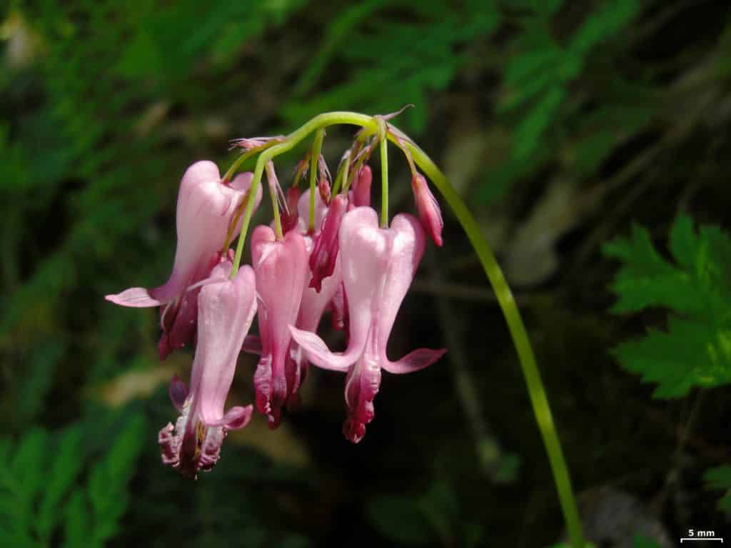 Bleeding Hearts, Dicentra eximia, blooming with pink flowers.