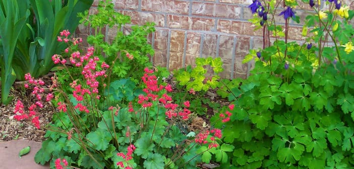 Coral bells and columbines in front of a brick wall.
