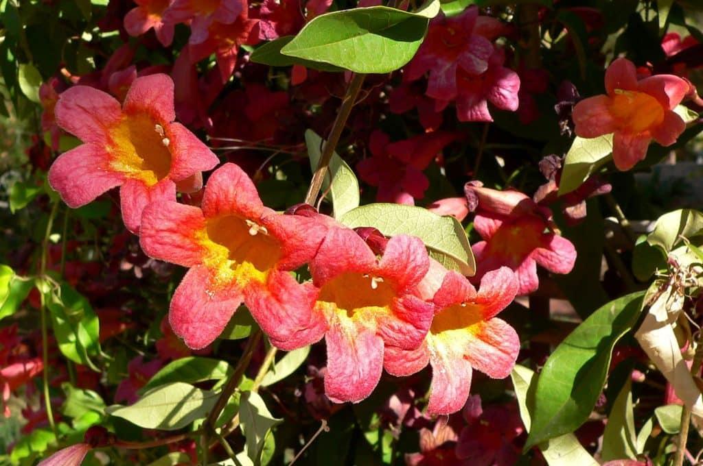 Crossvine, Bignonia capreolata, in bloom with red flowers.
