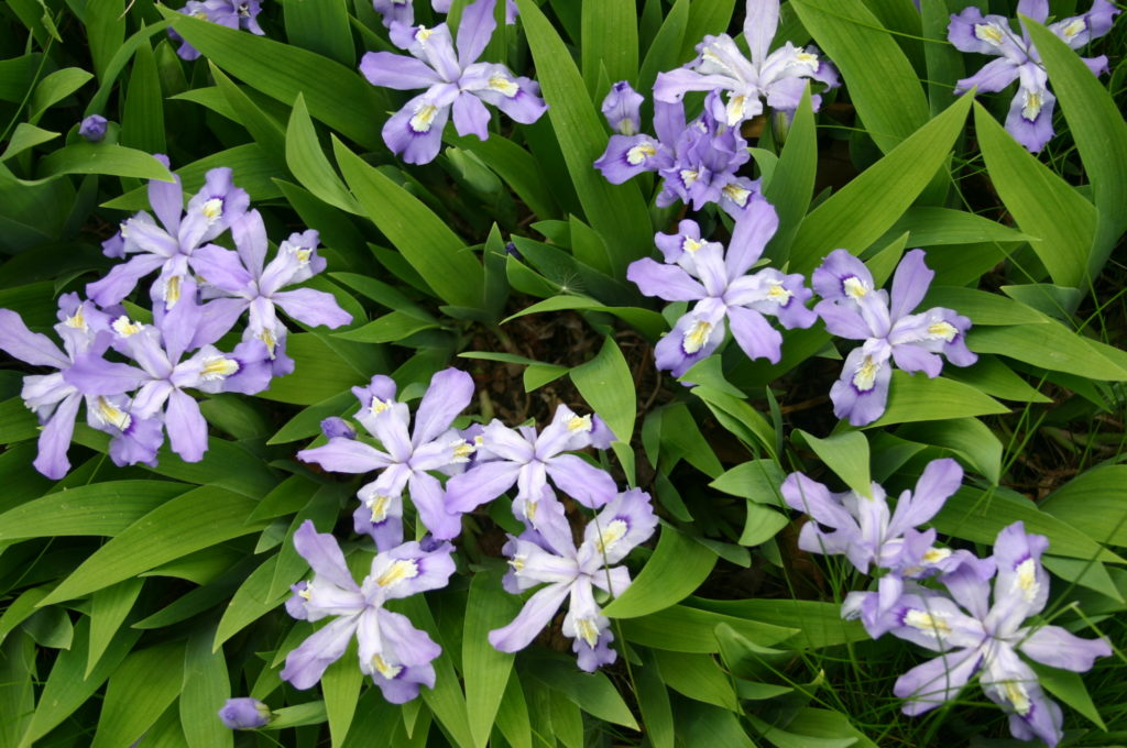 Dwarf Crested Iris, Iris cristata, blooming with lavender flowers.