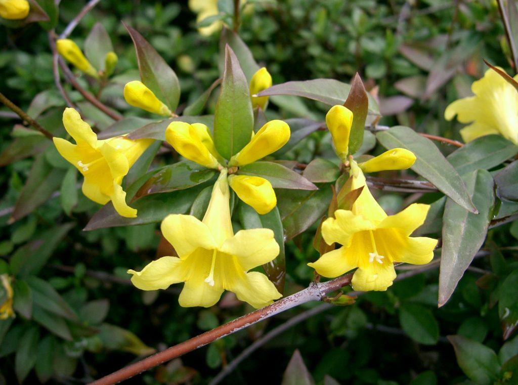 Carolina Jessamine, Gelsemium sempervirens, blooming with yellow flowers.