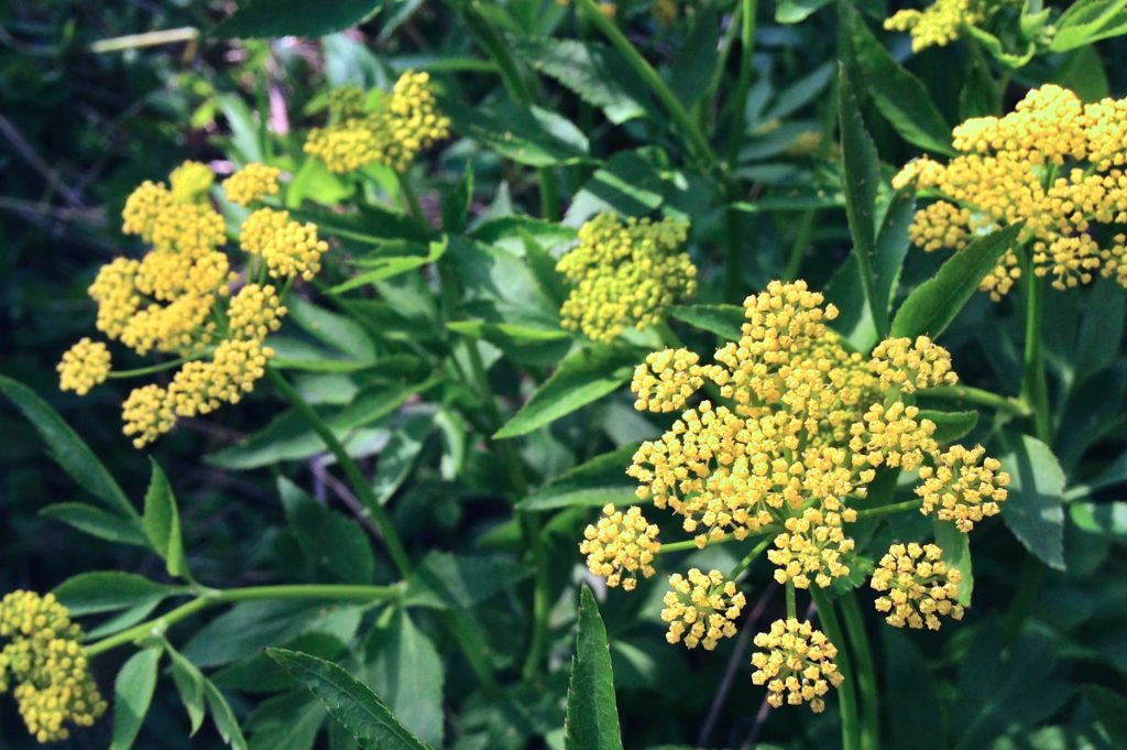 Golden Alexanders, Zizia aurea, in bloom with yellow flowers.