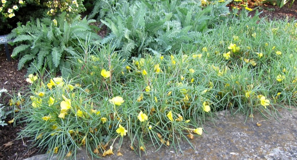 Bed of Missouri Evening Primrose, Oenothera macrocarpa, in bloom with yellow flowers.