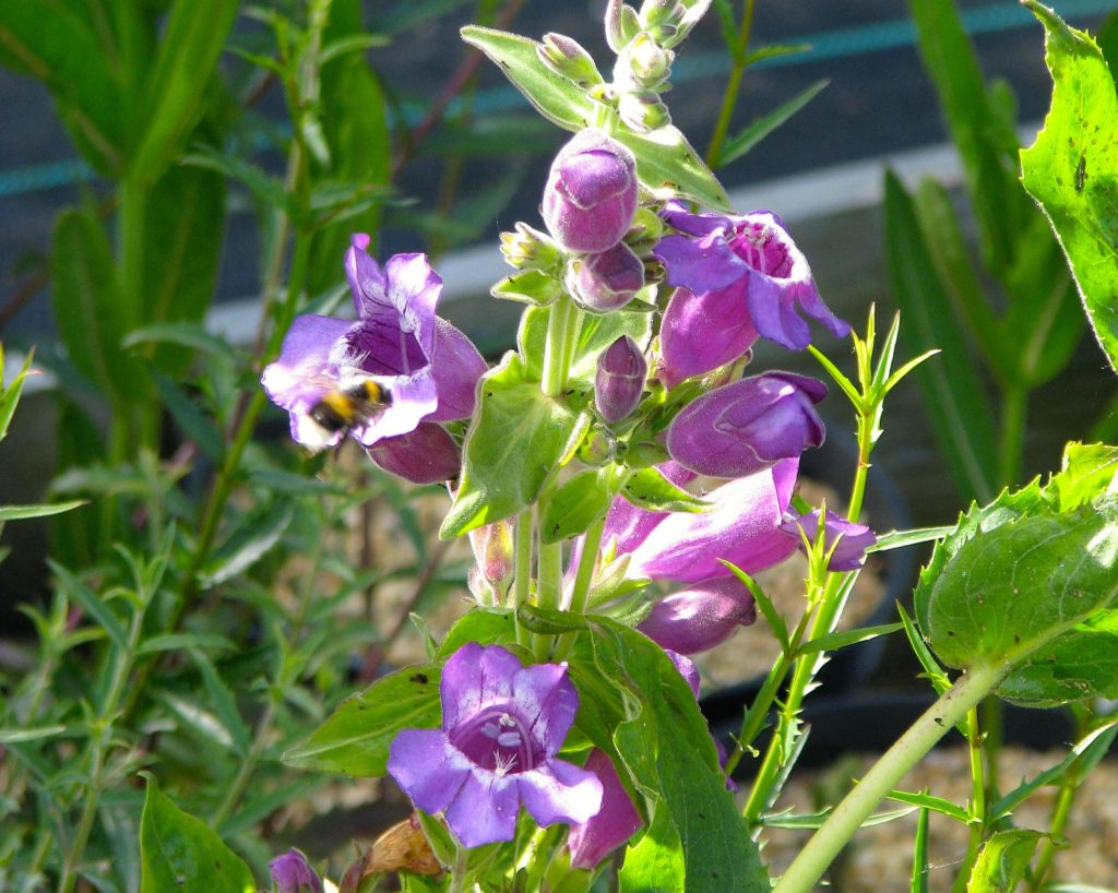 Penstemon cobaea in bloom with lovely pinkish-purple flowers