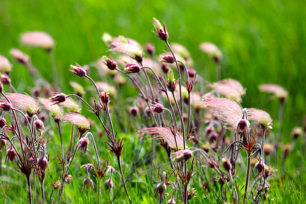 Prairie Smoke, Geum triflorum, in bloom with pinkish flowers.