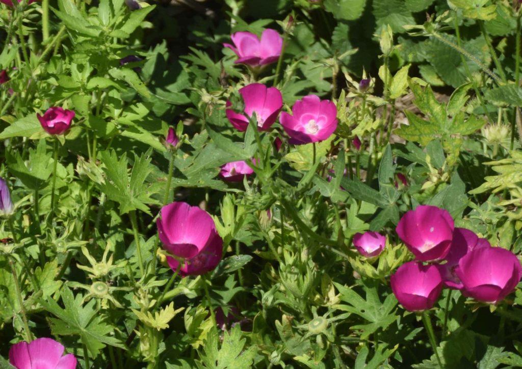 A garden of Purple Poppy Mallow, Callirhoe involucrata , plants with purplish-red blossoms.
