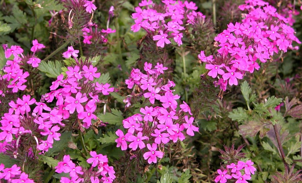 Rose verbena, Glandularia canadensis, blooming with bright pink flowers.