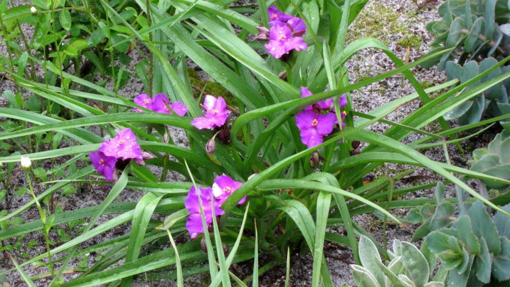 Spiderwort, Tradescantia tharpii, in bloom with purple flowers.