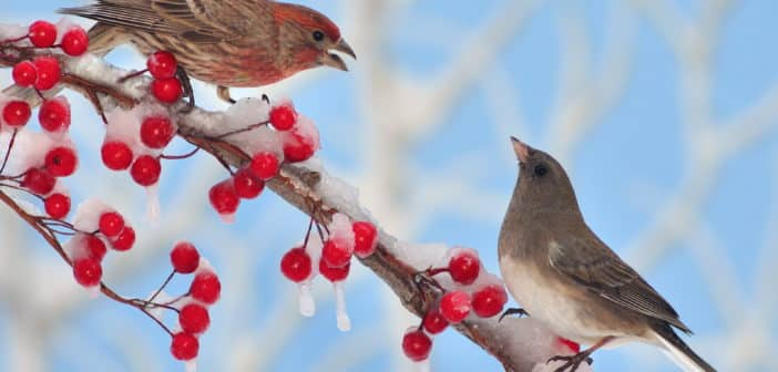 House Finch and Dark-eyed Junco on a branch that has small red fruit.