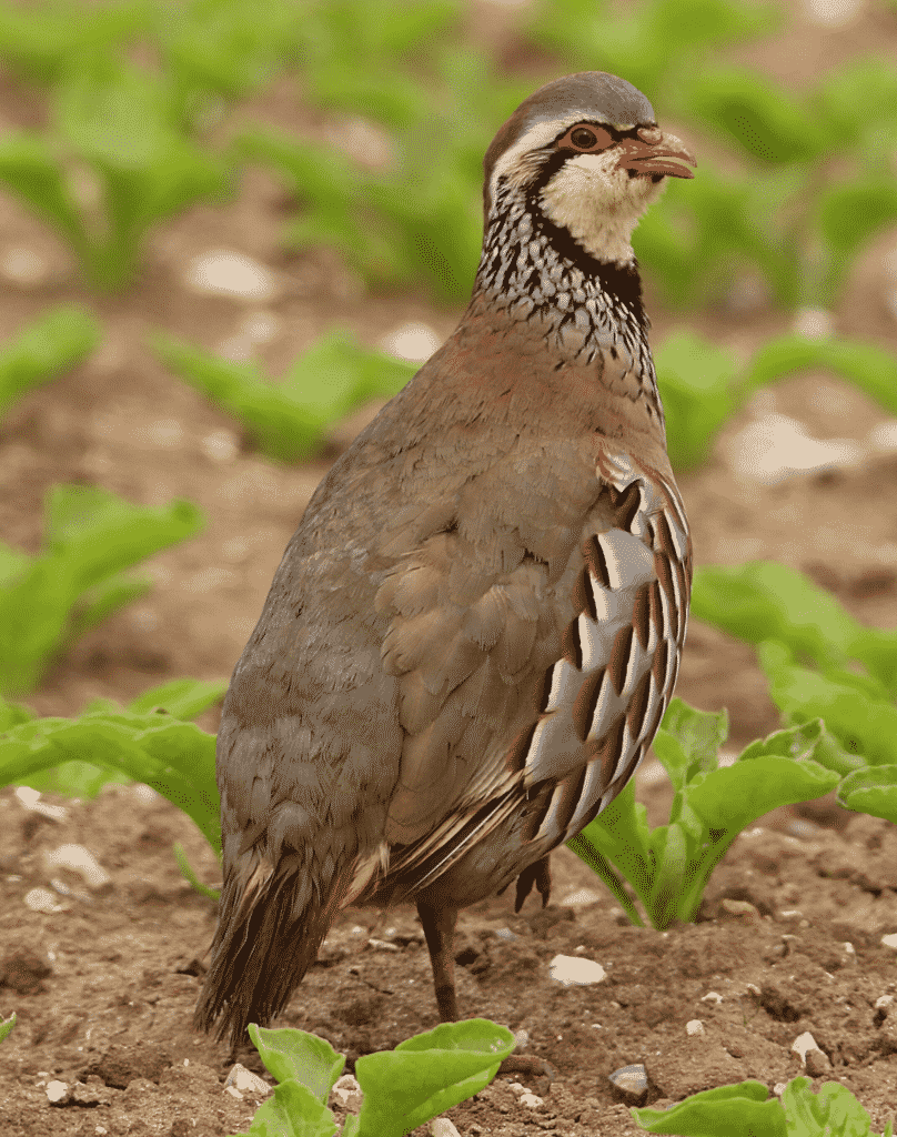 Red-legged Partridge standing on rocky soil..