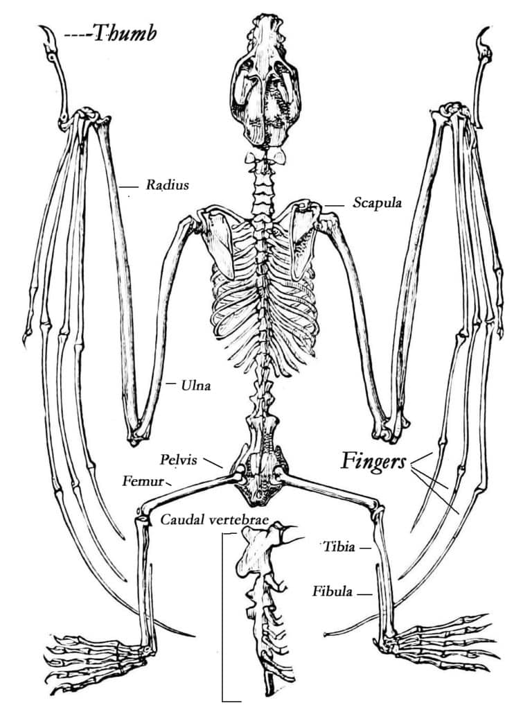 Black and white illustration of bone structure of a bat, with labels.