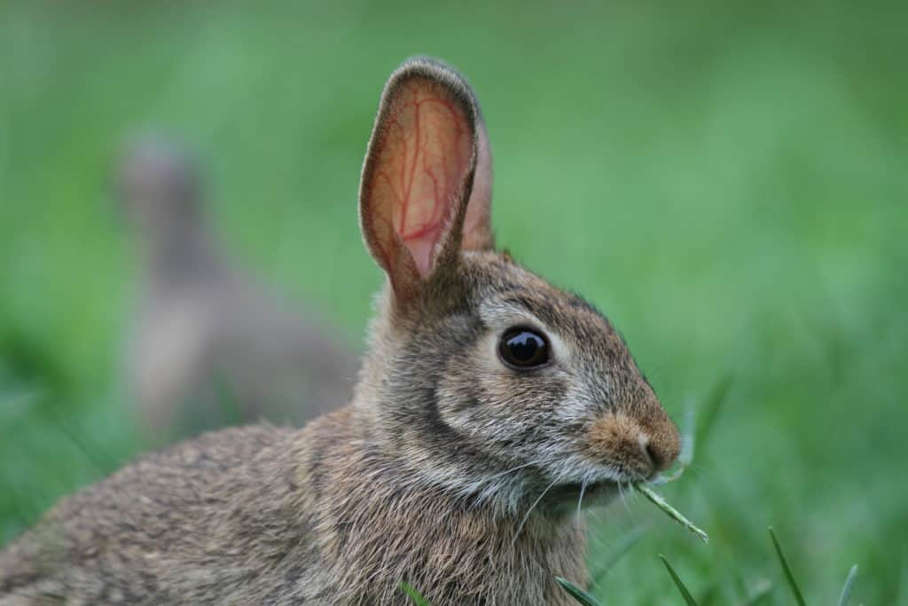 Photo of cottontail rabbit showing cupped shape of its ears.
