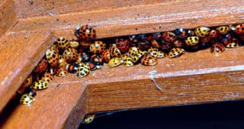 Colorful congregation of orange and yellow Harlequin Ladybird Beetles huddled together in a window sill.
