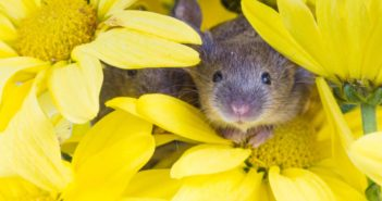 House mouse peeking out of a group of yellow flowers.