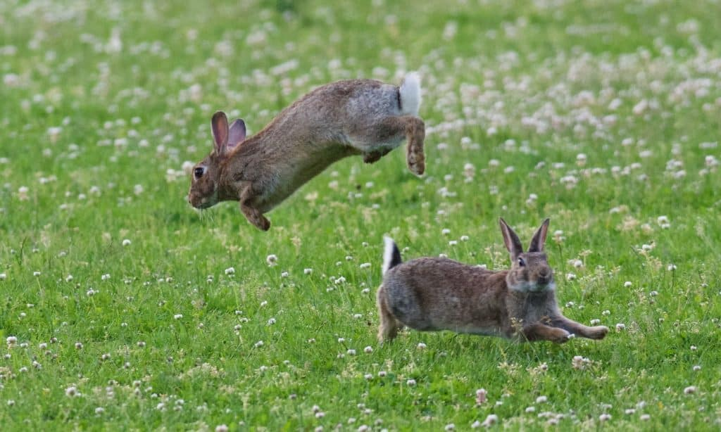 Two cottontails, one facing left and jumping over one just below it which is running to the right.