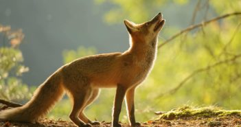 Red Fox standing and looking up, backlight by sunlight.