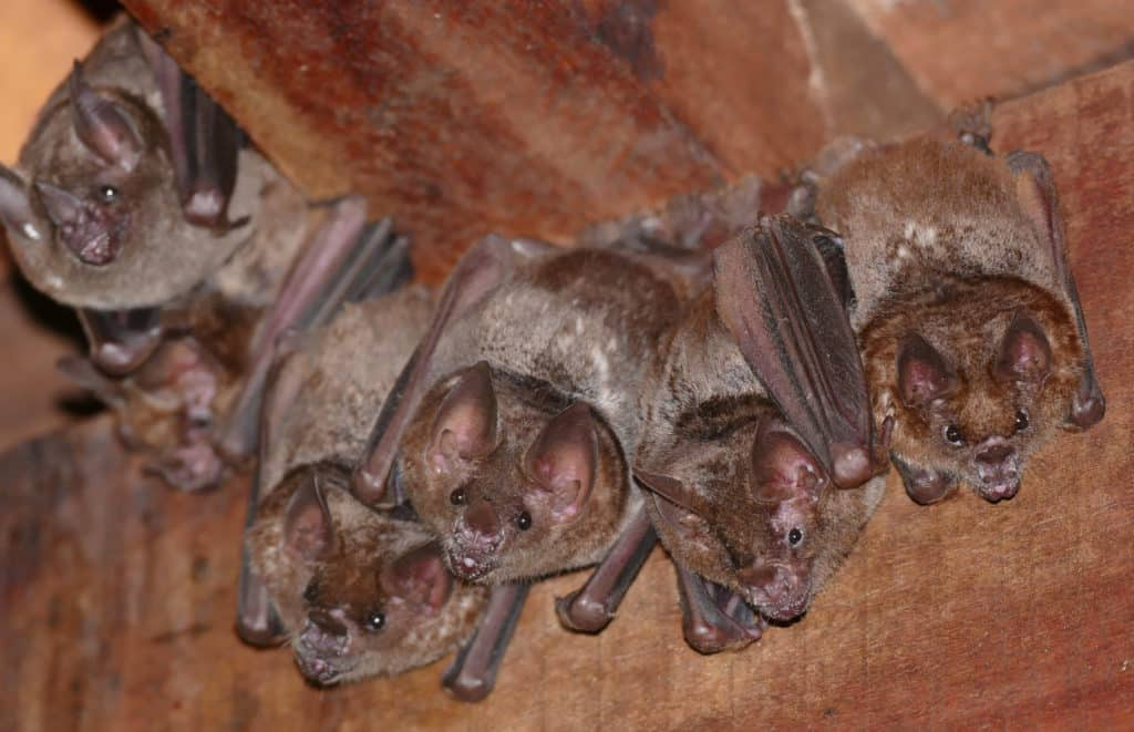 Small group of Seba's Short-tailed Bats roosting in old building.