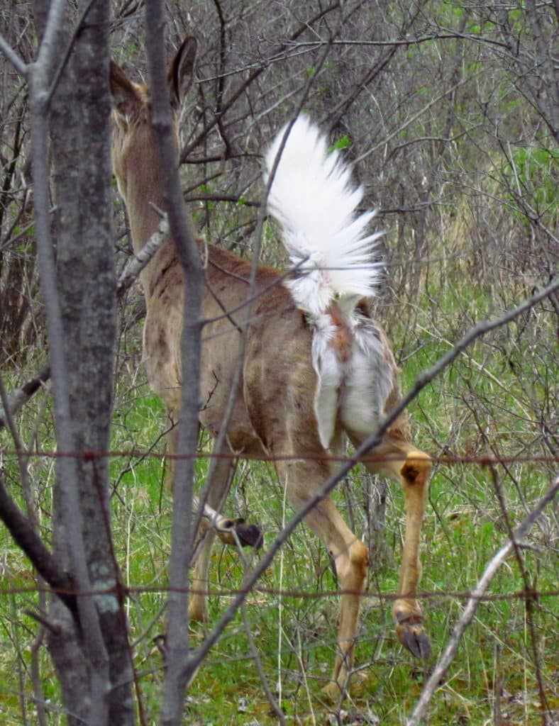 Image of a White-tailed Deer with its tail up, as viewed from the back.