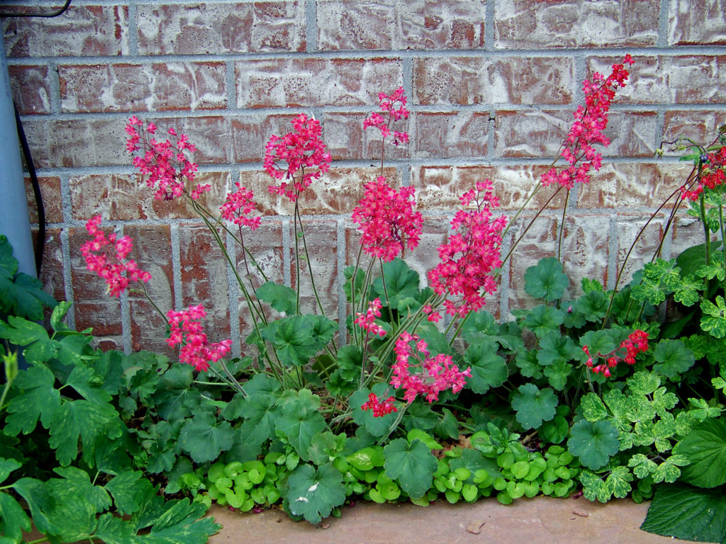 Coral Bells with dark pink blossoms.