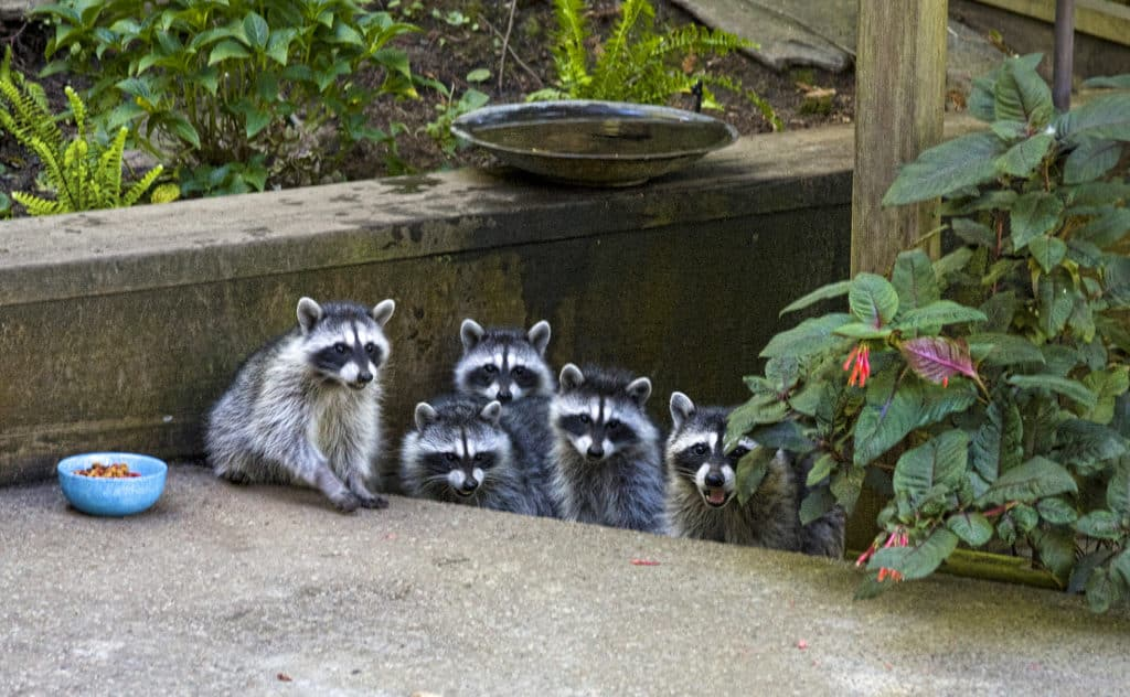 Northern Raccoon family standing on a patio where a dish of food has been put out for them.