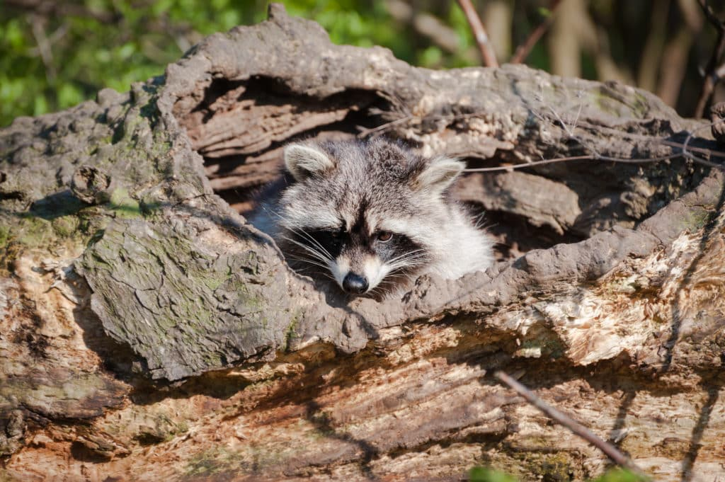 Raccoon peering out of its den in a fall tree trunk.