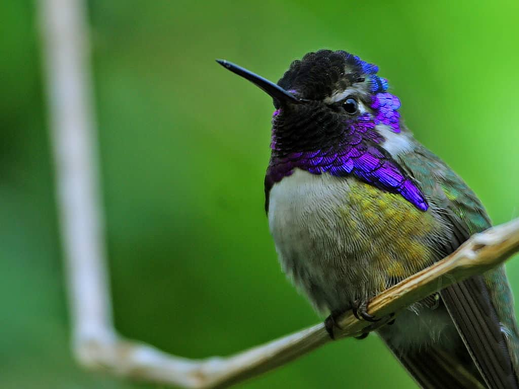 Male Costa's Hummingbird sitting on a branch. His throat refracts a combination of black, purple and wine colors.