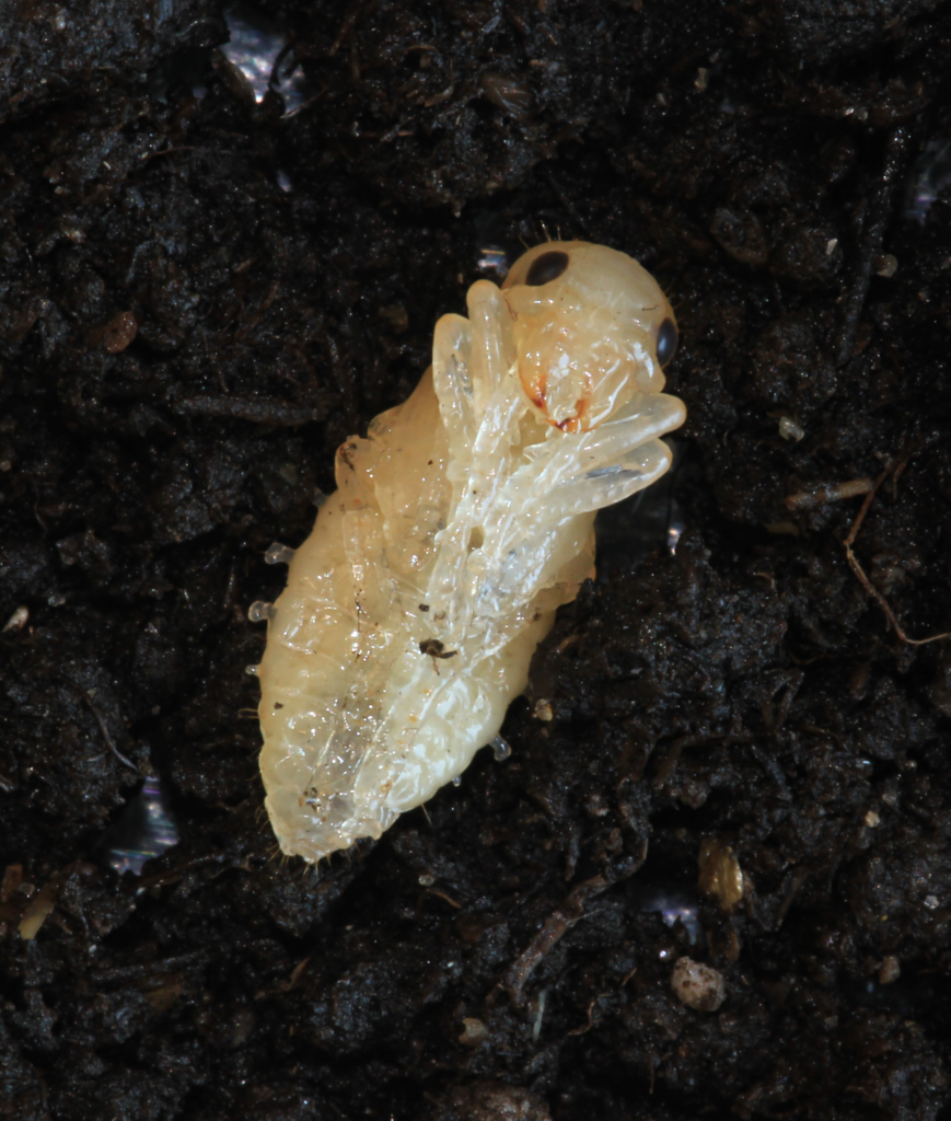 White pupa of a black ground beetle lying on a dark soil surface.
