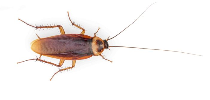 American Cockroach on white background.