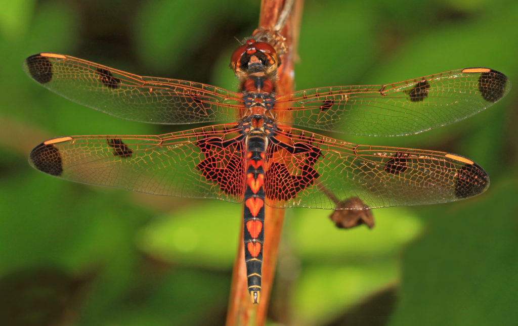 Beautiful orange-colored dragonfly.