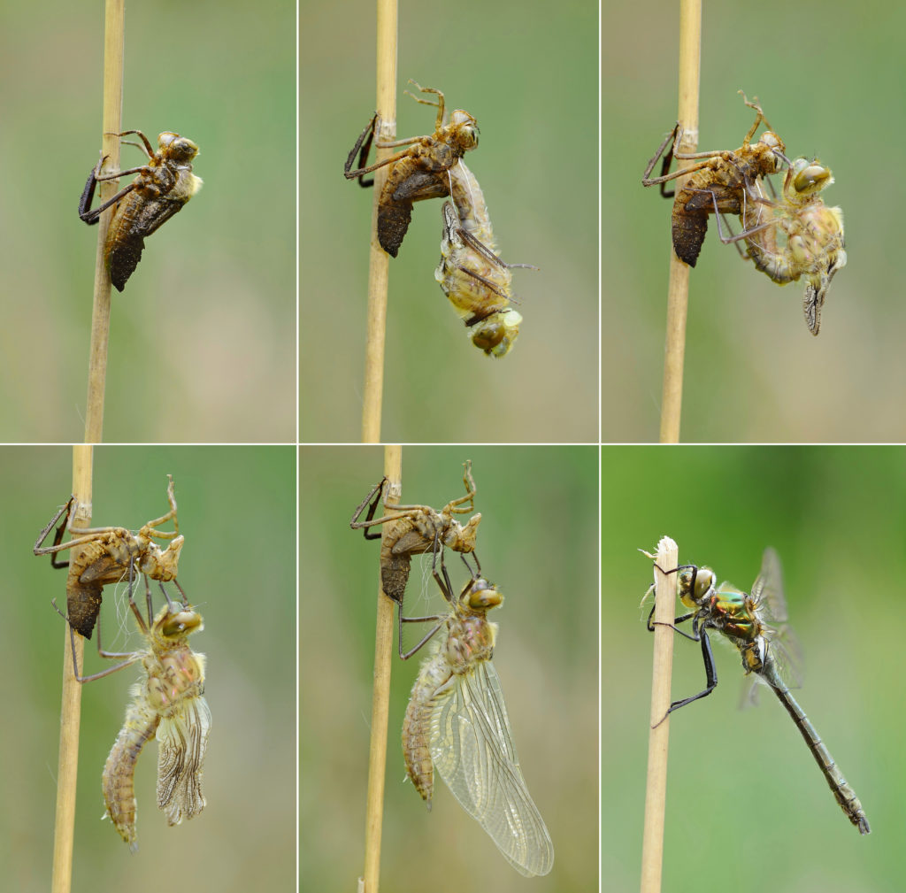 Series of images showing a Downy Emerald Dragonfly molting out of its final skin, revealing an adult.
