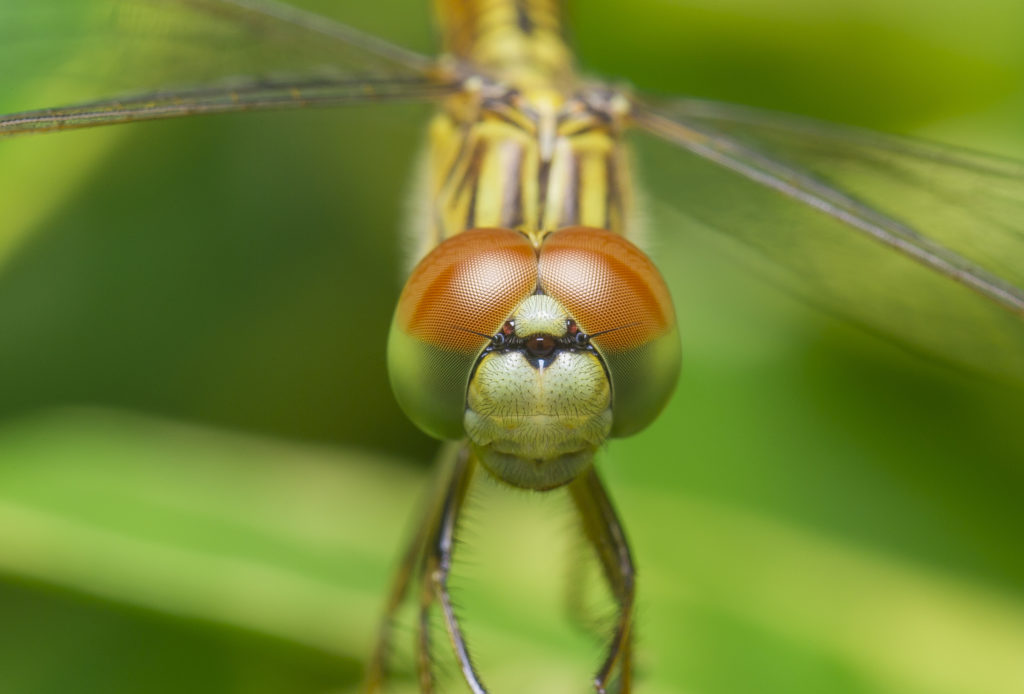 Close up of a dragonfly facing forward, showing the closeset position of its eyes.