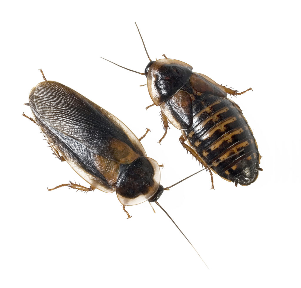 Male and female Dubia Roaches on a white background.